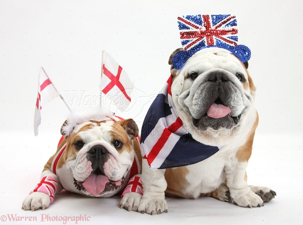 Bulldogs in union jacks